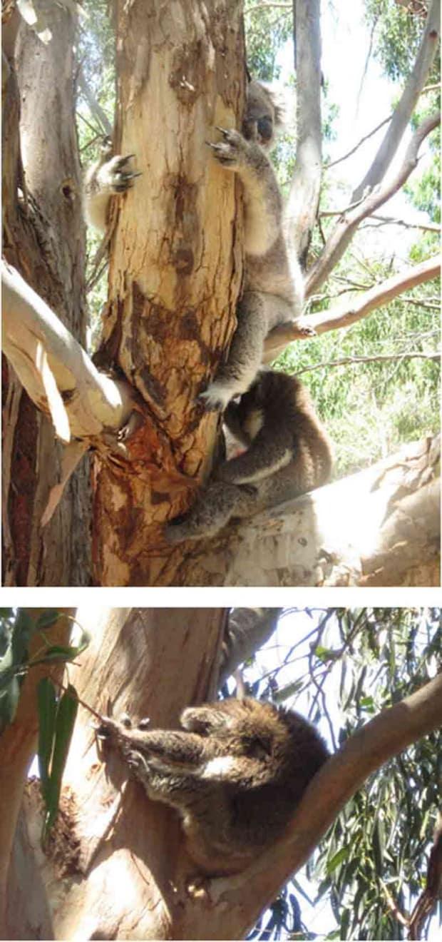 Your Missing Link spots koala with joey on Kangaroo Island