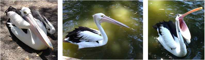 Hungry pelicans in Cleland Wildlife Park, South Australia - Henny Jensen
